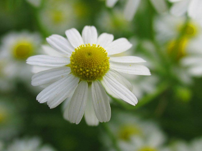 Ромашка аптечная цветок
