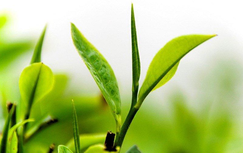 Листочки зеленого чая