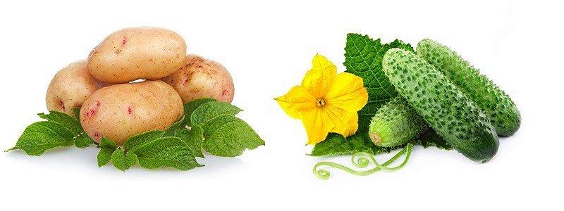 Картофель и огурец