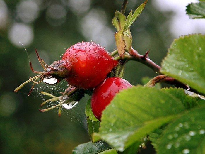Плоды шиповника на ветке