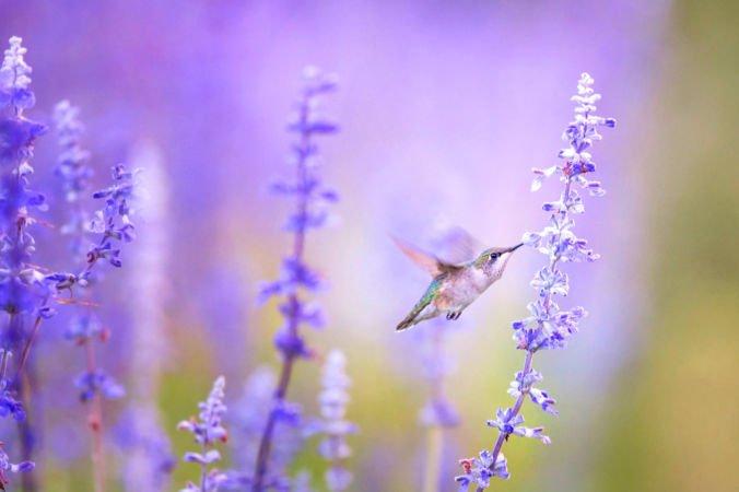 C:\Users\Darya30\Desktop\lavender-1-676x450.jpg